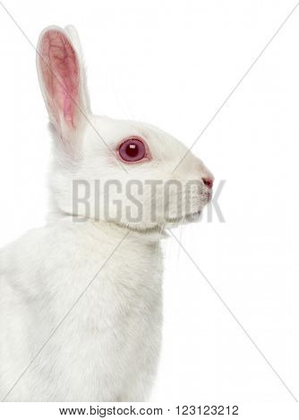 Close up of a White albino hare isolated on white