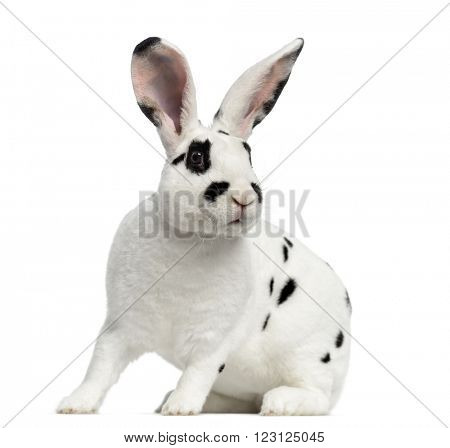Rex Dalmatian Rabbit standing up, isolated on white