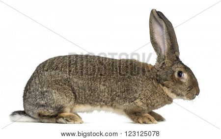 Profile of a Flemish Giant rabbit in front of white background
