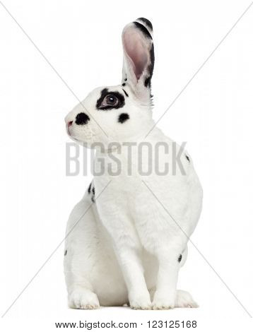 Rex Dalmatian Rabbit sitting, isolated on white