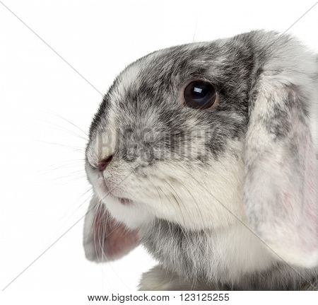 Close up of a Ram Rh�¶n Rabbit isolated on white