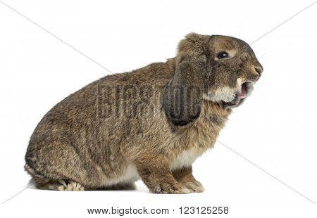 German Rabbit Ram yawning, isolated on white