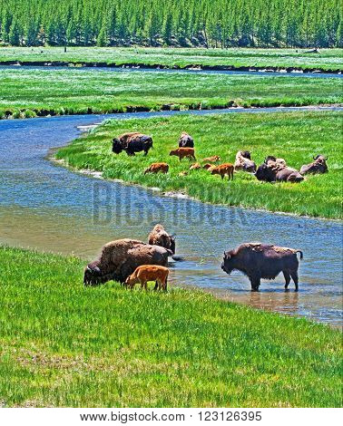Bison Buffalo cows crossing river with their calves in Yellowstone National Park Wyoming USA