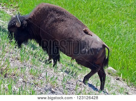 American Bison Buffalo Bull grazing on a hill in Yellowstone National Park in Wyoming USA