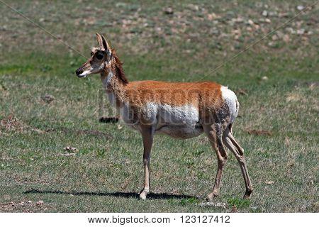 Pregnant female Pronghorn Antelope in Custer State Park in the Black Hills of South Dakota USA