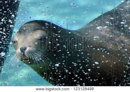 Sea Lion Diving Underwater In A Aquarium