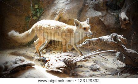 BUDAPEST, HUNGARY, JULY 11, 2015: Diorama of a fox inside Hungarian Agricultural Museum (Magyar Mezogazdasagi Muzeum).