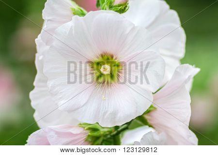 Flowers Holly Hock (Hollyhock) white in the garden