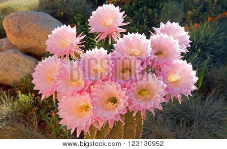 Barrel Cactus Pink Blooming Flower in the high desert of southern California in Palmdale Californiia USA