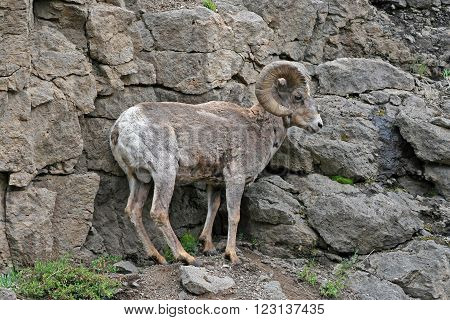 Bighorn Sheep in Yellowstone National Park in Wyoming USA