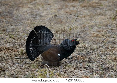 Western capercaillie (Tetrao urogallus), male bird acting aggressively.