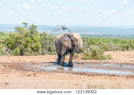 An African Elephant Loxodonta africana spraying it self with muddy water