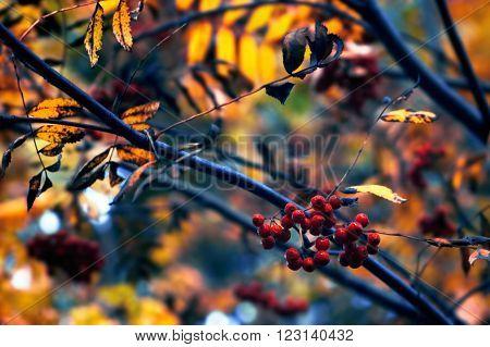 Autumn rowan (Sorbus aucuparia) berries and branches