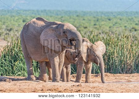 A female African Elephant, Loxodonta africana, and two calves drinking water