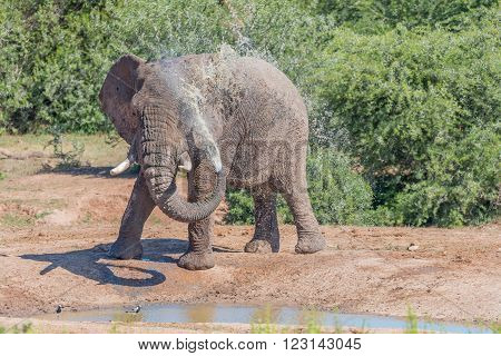 A young African Elephant Loxodonta africana spraying it self with muddy water