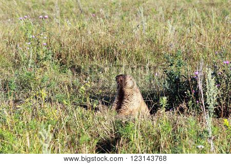Marmot At The Foot Of Chatyr-tau