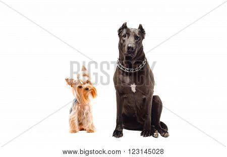 Staffordshire Terrier and Yorkshire terrier sitting together isolated on white background