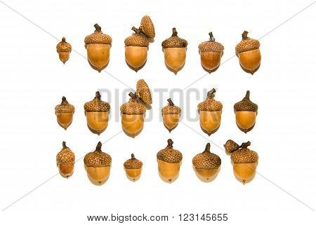 Many brown acorns with caps on over white