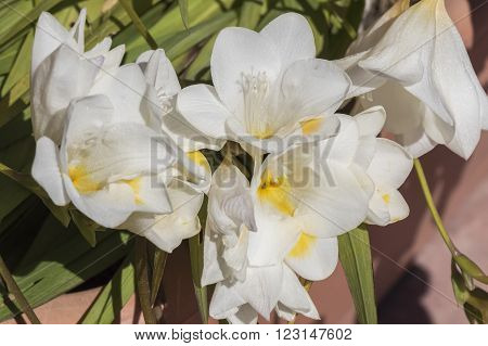 White freesia flower in the garden under the sun