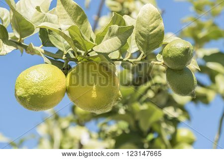 Unripe lemons on the tree, under the sun