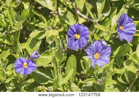 Solanum flowers under the sun in the garden ** Note: Shallow depth of field