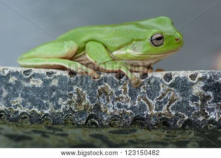 Green tree frog sitting on edge of pond in home garden
