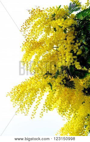 Beauty Yellow Lush Foliage Flowering Mimosa with Leafs isolated on White background