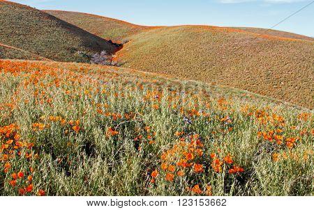 California Golden Poppies during springtime in the high desert of southern California near Quartz Hill CA