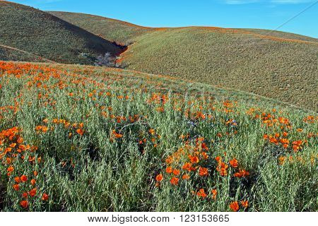California Golden Poppies on the hills near Quartz Hill during springtime in the high desert of southern California