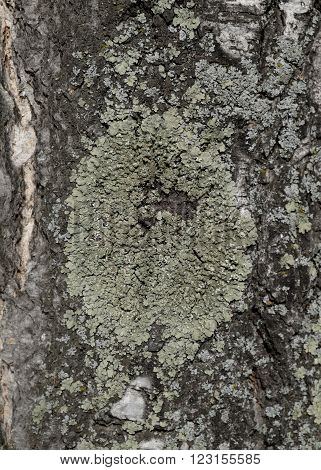 The bark of birch is covered with large green lichen