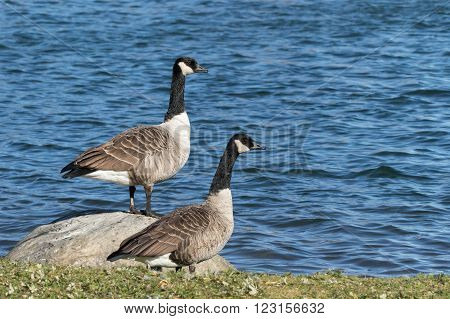 A pair of Canada Geese - Branta canadensis next to a pond one higher on a rock than the the other in the grass.