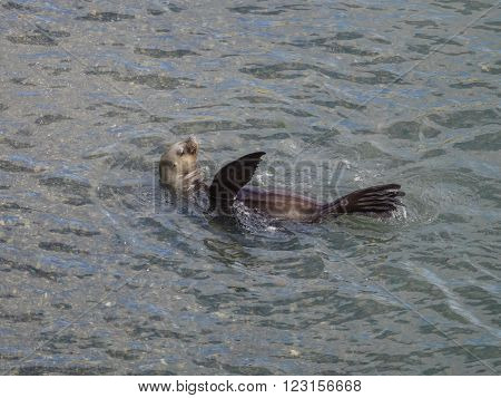 South American Sea Lion - Otaria flavescens. Seen in Patagonia Argentina
