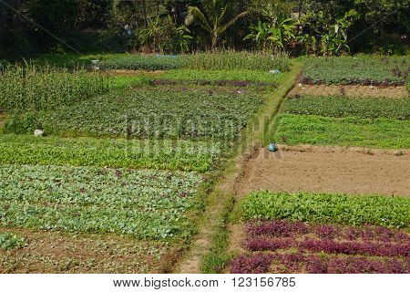 On vegetable beds among palm trees in tropics the rich harvest ripens ** Note: Soft Focus at 100%, best at smaller sizes