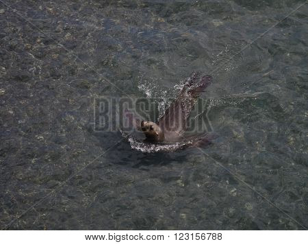 A wild sea lion swimming in sea around Patagonia Argentina