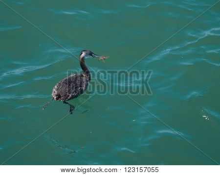 Great grebe Podiceps Major. Seen in the wild at Puerto Madryn Argentina.