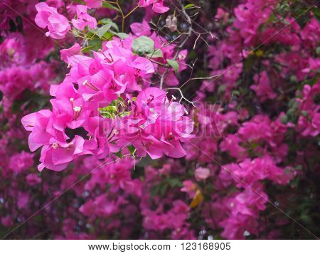 Pink Bougainvillea flower creeper plant with green leaves