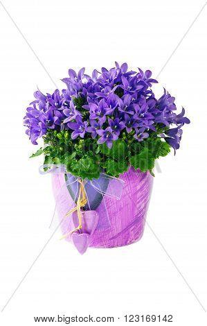 Beautiful vivid purple spring flower bush in flower pots Dalmatian bellflower (Campanula portenschlagiana)