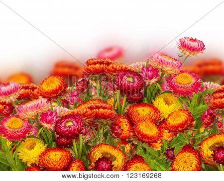 fresh Everlasting flowers border isolated on white background