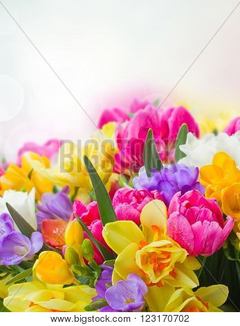 multicolored  freesia and daffodil  flowers on blue bokeh background