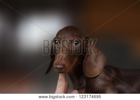 Dachshund dog looks at camera. portrait of smooth-coated Dachshund puppy