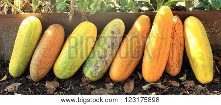 Several ripe cucumber as a symbol of summer and fertility