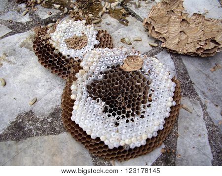Broken Asian Hornet nest showing empty cells and larvae still in cocoons