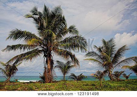 Coconut palm tree on the sea beach.