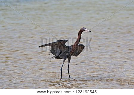 Reddish Egret Shadow Hunting In Tidal Waters