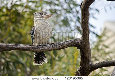 the blue winged kookaburra is sitting in a tree ** Note: Soft Focus at 100%, best at smaller sizes