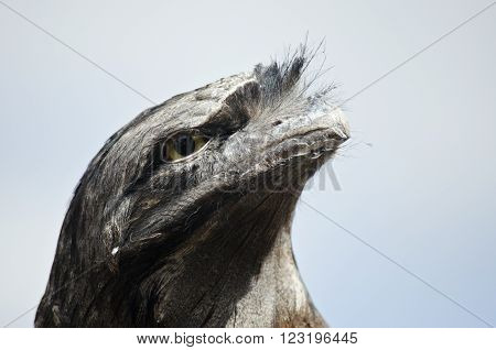 this is a close up of a tawny frogmouth ** Note: Visible grain at 100%, best at smaller sizes
