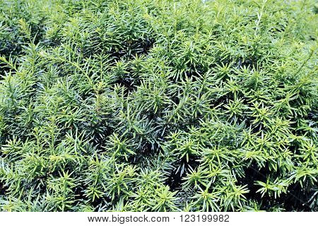 Background of green branches and leaves of a bush yew
