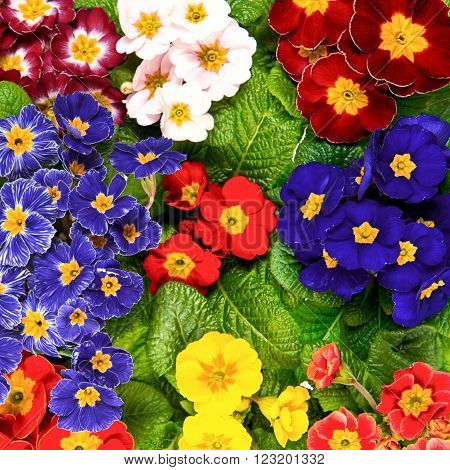 Assorted spring primula flowers. Colorful primroses. Multicolor ** Note: Shallow depth of field