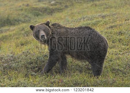 Grizzly Bear in the Rain in the Tundra in Denali National Park in Alaska