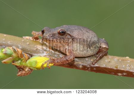 Spring Peeper (Pseudacris crucifer) on a forsythia branch with a yellow flower and a green background